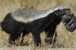 A Honeybadger carrying its young in its mouth